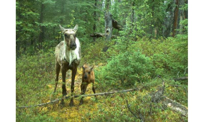 Disrupting wolf movement may be more effective at protecting caribou