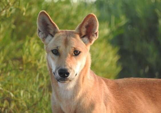 Dogged researchers show that dingoes keep feral cats in check