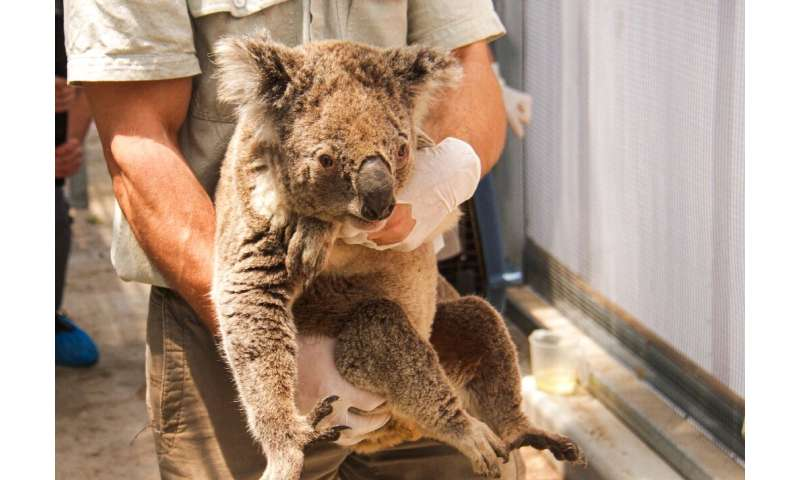 Dozens of koalas have been rescued in the past few months but hundreds more of the animals are feared to have died in the fires