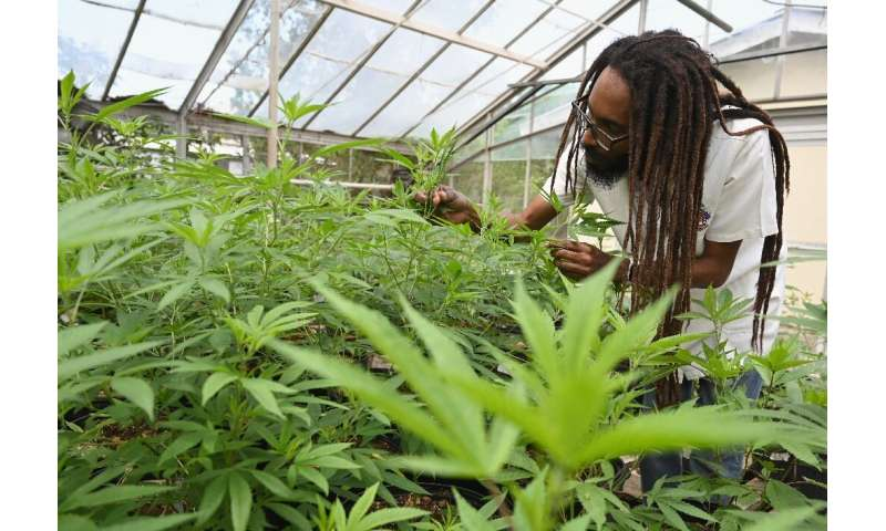 Dr Machel Emanuel inspects cannabis plant in a greenhouse at the University of the West Indies