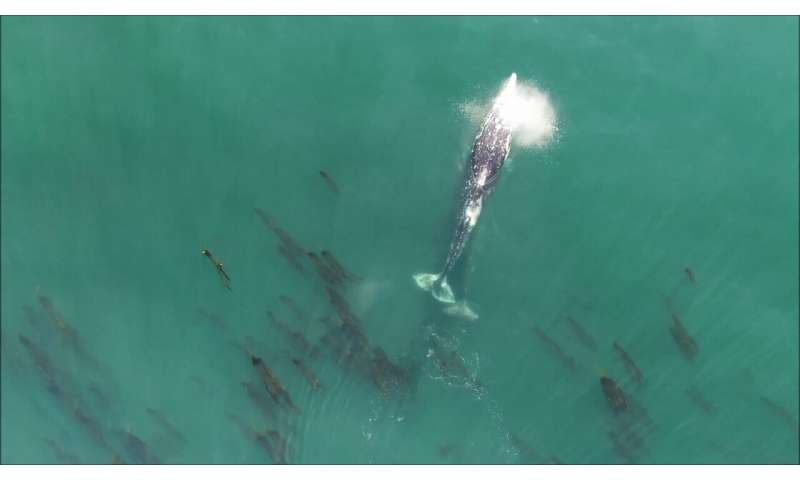 Drones carting GoPros to track gray whale behavior and spot their poop off Oregon Coast