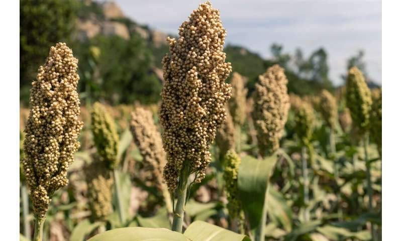 Dry conditions in the Mutoko region of Zimbabwe are fine for sorghum, and climate change has farmers in Europe taking a fresh lo