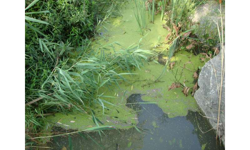 Duckweed: The low-down on a tiny plant