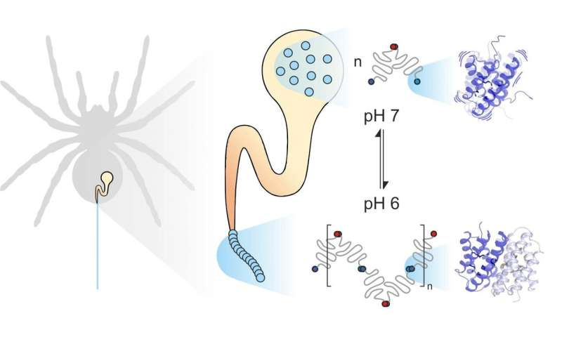 Dynamics of silk proteins are key to outstanding stability of spider silk as biomaterial