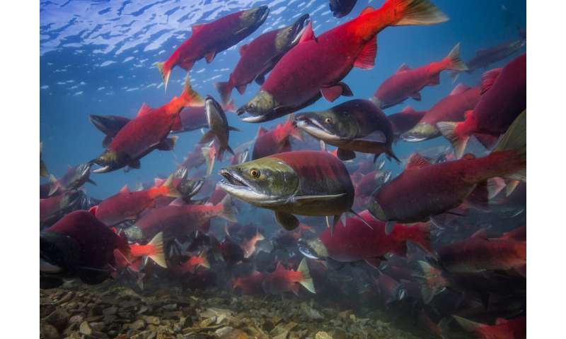Early lives of Alaska sockeye salmon accelerating with climate change