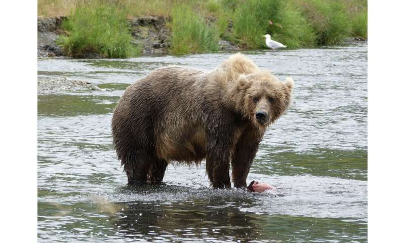 Easy prey: The largest bears in the world use small streams to fatten up on salmon