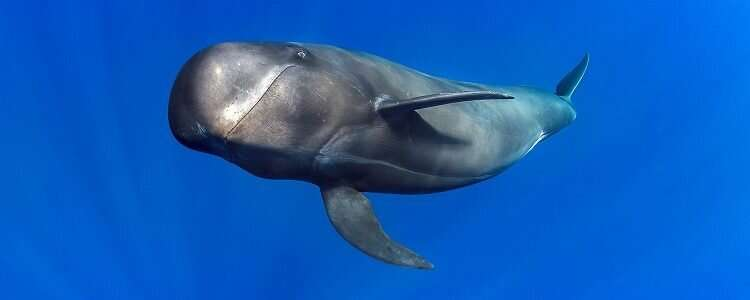 Echolocation found to be cheap for deep-diving whales