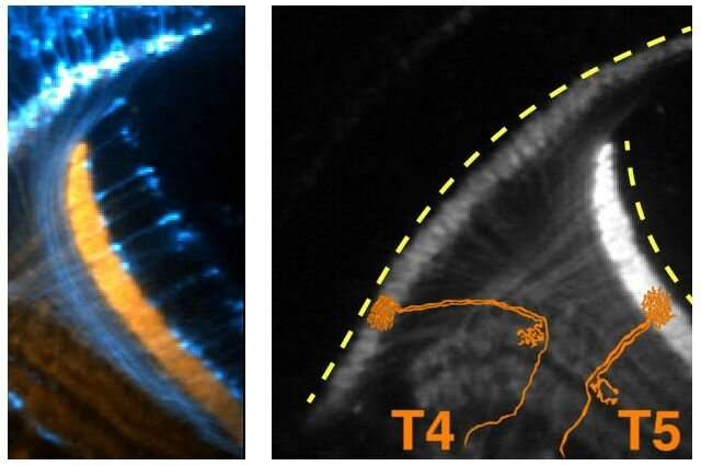 Electrical activity early in fruit flies' brain development could shed light on how neurons wire the brain