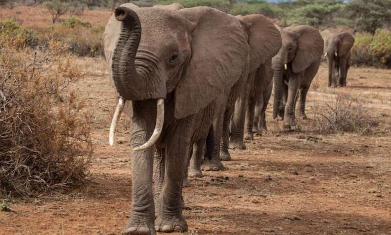 Elephants walk more direct paths under risk of poaching