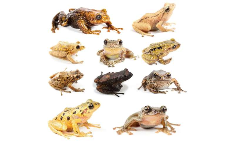 Eleven new species of rain frogs discovered in the tropical Andes