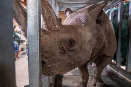 Endangered black rhino expecting first calf
