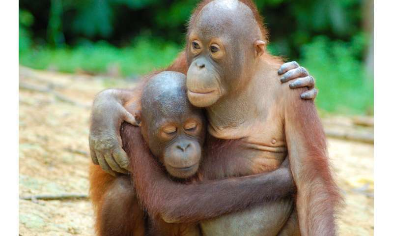 Endangered Bornean orangutans survive in managed forest, decline near oil palm plantations