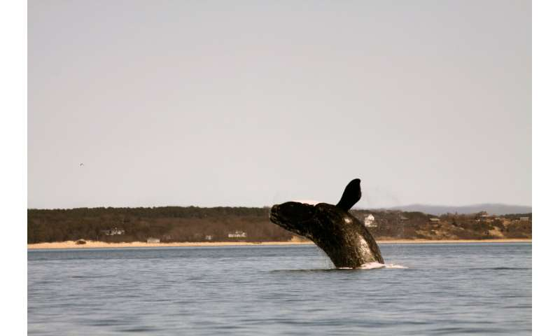 Endangered whales react to environmental changes