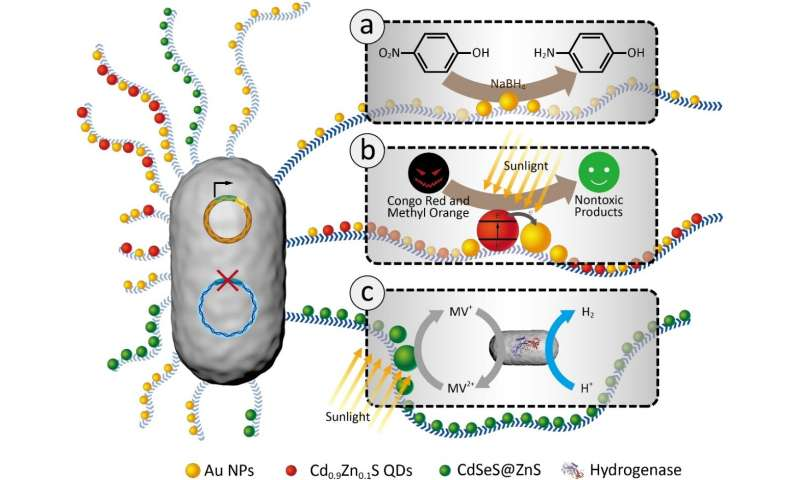 Engineered bacterial biofilms immobilizing nanoparticles enable diverse catalytic applications