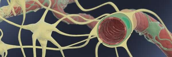 Enhanced human Blood-Brain Barrier Chip performs in vivo-like drug and antibody transport
