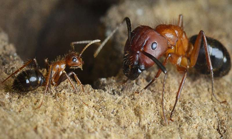Research team discovers epigenetic pathway that controls social behavior in carpenter ants