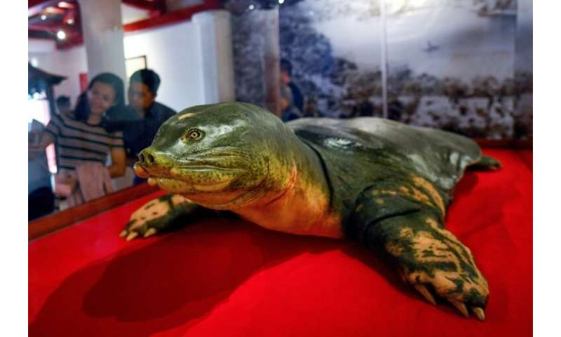 Eternal shell: An embalmed sacred giant turtle on display at Hoan Kiem lake in Hanoi