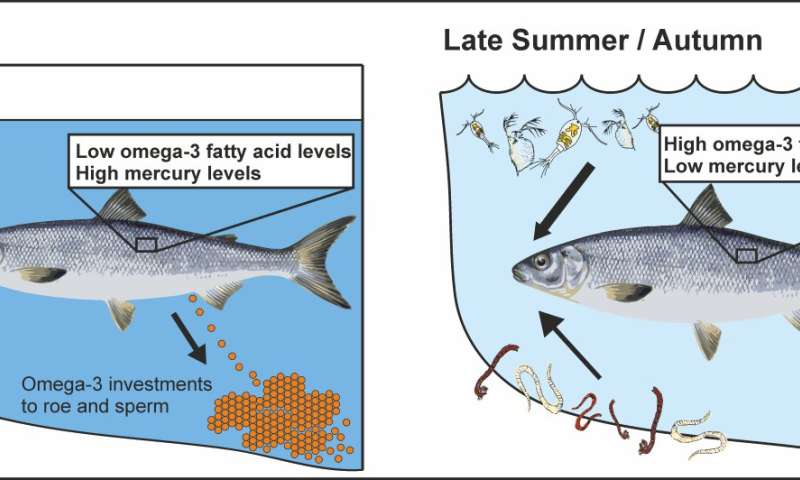 European whitefish is healthy to eat, but the nutritional quality varies among season