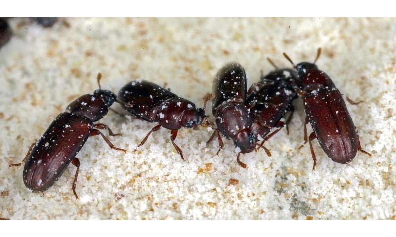 Evolution experiment: Specific immune response of beetles adapts to bacteria