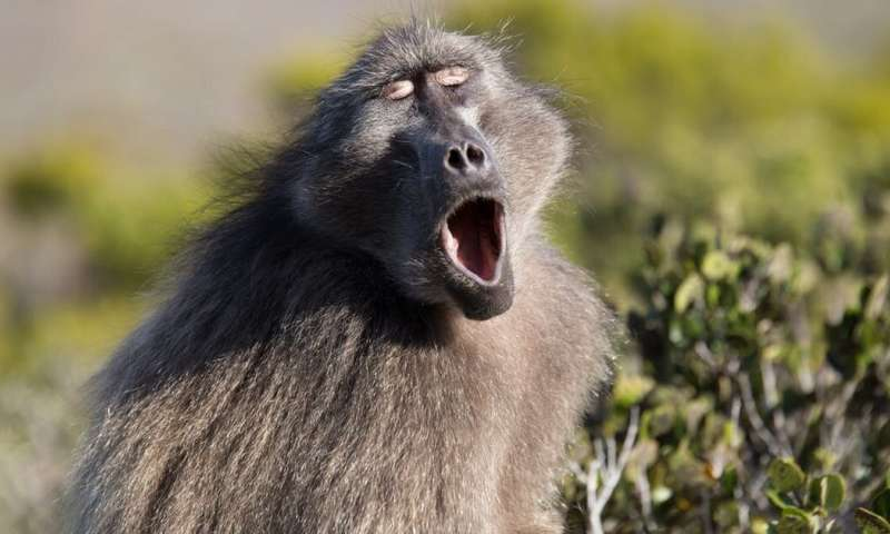 **Examining how primates make vowel sounds pushes timeline for speech evolution back by 27 millionyears