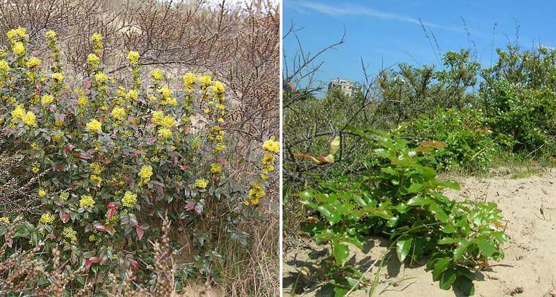 Experiment suggests the best ways to tackle invasive Oregon grape in Belgian coastal dunes