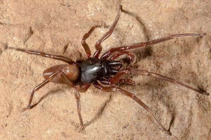 Experts sequence the genome of an endemic spider from the Canary Islands