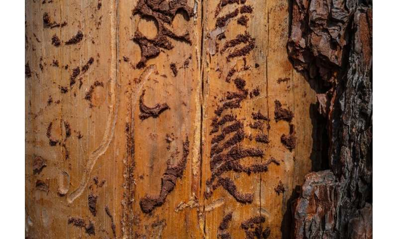 Experts warn that there are no easy fixes to the bark beetles' onslaught, since the underlying cause is beyond the control of an