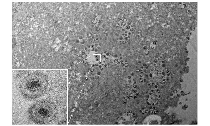 Extreme cold could reveal herpesvirus infection dynamics