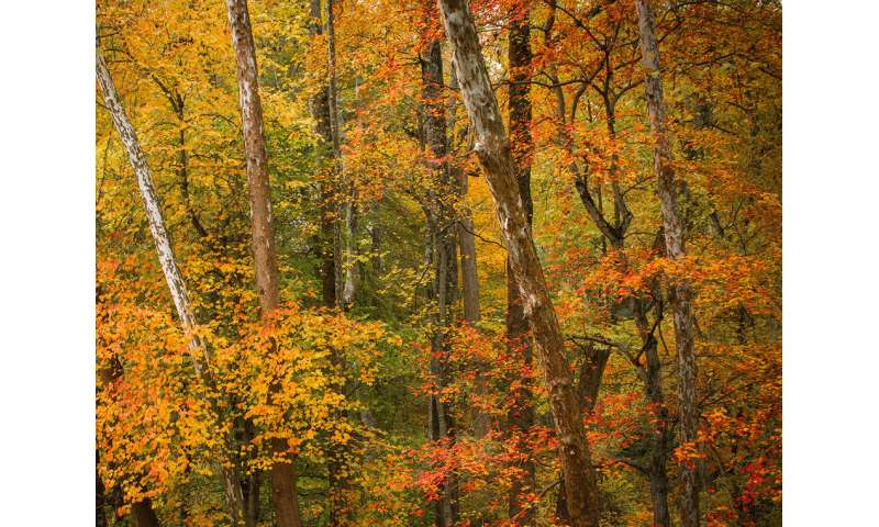 Extremely dry, hot conditions this fall causing early, muted foliage display