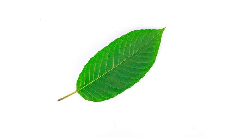 FDA: high levels of heavy metals found in kratom products