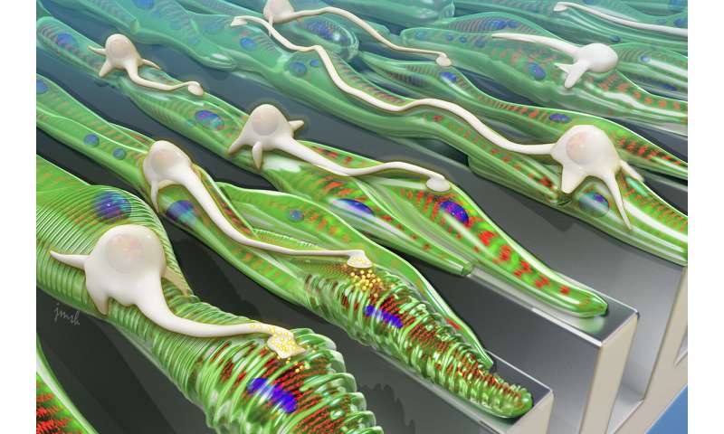 Feeling groovy: Neurons integrate better with muscle grown on grooved platforms