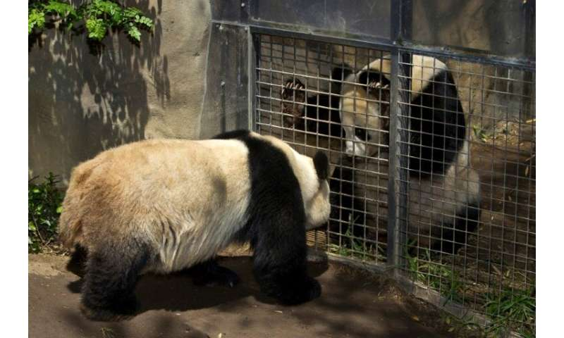 Female panda Bai Yun (R) and male panda Gao Gao (L) view each other through a screened gate between their exhibits on April 15,