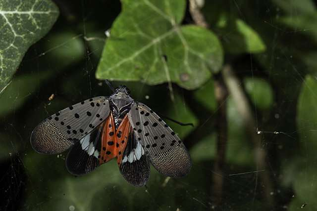 First Genome of Spotted Lanternfly Built from a Single Insect