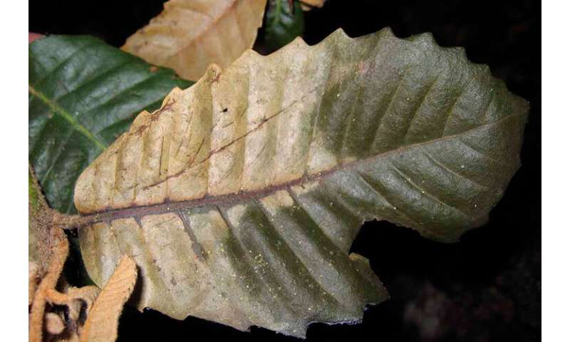 First known cases of sudden oak death detected in Del Norte County