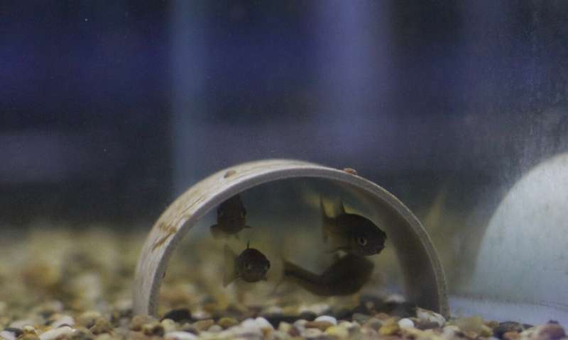 Fish under threat release chemicals to warn others of danger