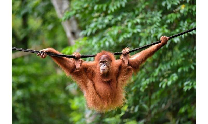 Five-year-old primate Elaine was one of two critically endangered Sumatran Orangutans released back into the wild