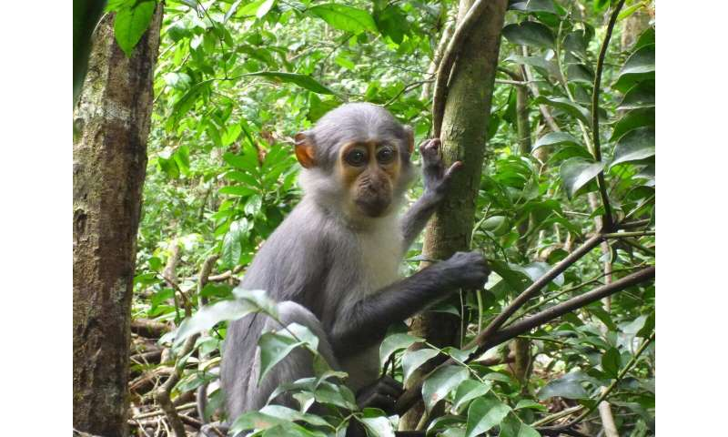 Flies may also spread disease among monkeys and apes