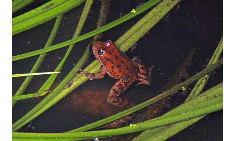 For a fragile frog population, wildfire is the latest challenge