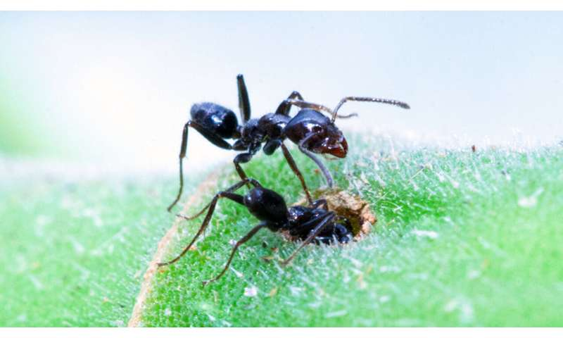 For at least one species, ant nurseries are cleaner than human ones