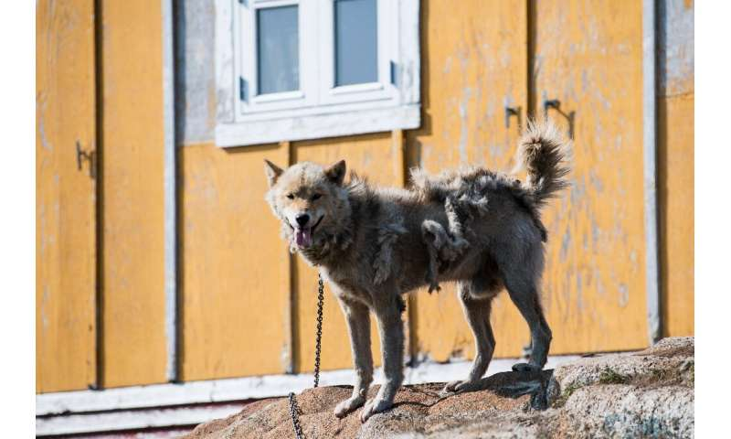 For centuries, hunters have sledded with Greenland dogs, a distinct breed similar to Alaskan huskies