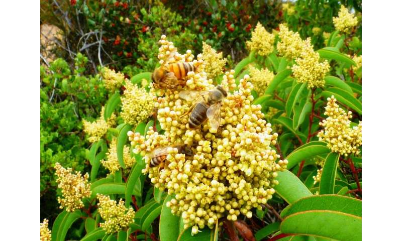 Foreign bees monopolize prize resources in biodiversity hotspot