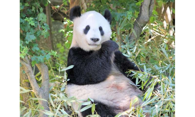 For giant pandas, bamboo is vegetarian 'meat'