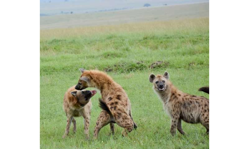For hyenas, there's no 'I' in clan