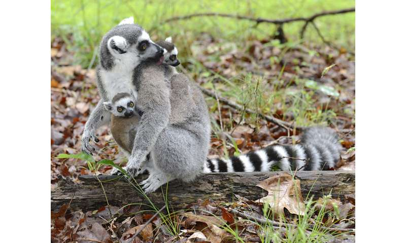 For lemurs, sex role reversal may get its start in the womb