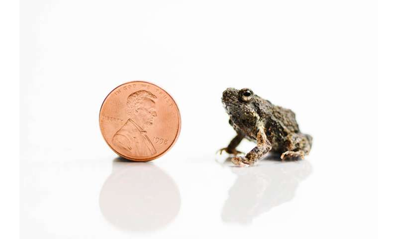 Frogs' mating calls also attract predators
