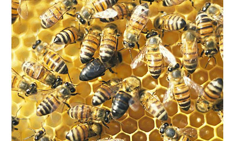 From nurses to conquerors: this single gene turns bees into social parasites