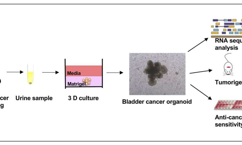 From urine samples to precision medicine in bladder cancer through 3D cell culture