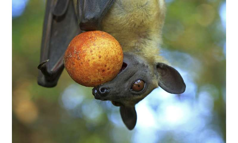 Fruit bat hunting also harms humans