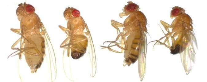 Fruit flies help in the development of personalized medicine
