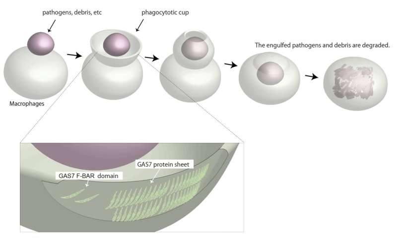 GAS7 protein allows cells to eat